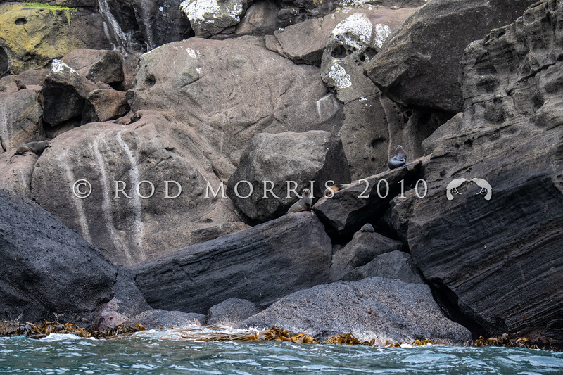 DSC_3833  New Zealand fur seal (Arctocephalus forsteri) adults ashore along rocky coastline. South East Island, Chathams Group *