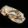 DSC_8101541  New Zealand fur seal (Arctocephalus forsteri) skull of female *