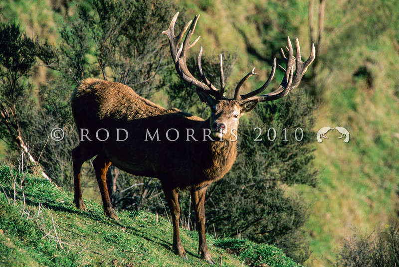 11002-26113  Red deer (Cervus elaphus) trophy stag with distinctive antler form from German and Danish bloodlines *