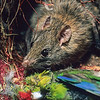 11002-18111  Ship rat (Rattus rattus) eating a predated kakariki on the nest. Notorious predators of native birds and their eggs, in 1964 this species invaded Big South Cape Island. Here it exterminated the Stewart Island snipe, Stead's bush wren, and the Greater short-tailed bat. Fortunately the sole remaining population of South Island saddleback (Philesturnus carunculatus) was rescued at the eleventh hour, by Don Merton and colleagues *