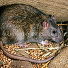 11002-19201  Norway or brown rat (Rattus norvegicus) the first European rodent to become established in New Zealand arriving in the 1770's *