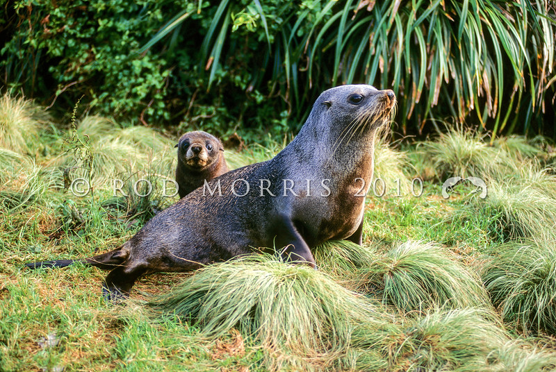 11002-40413  New Zealand fur seal (Arctocephalus forsteri) lactating female with young pup in rookery *