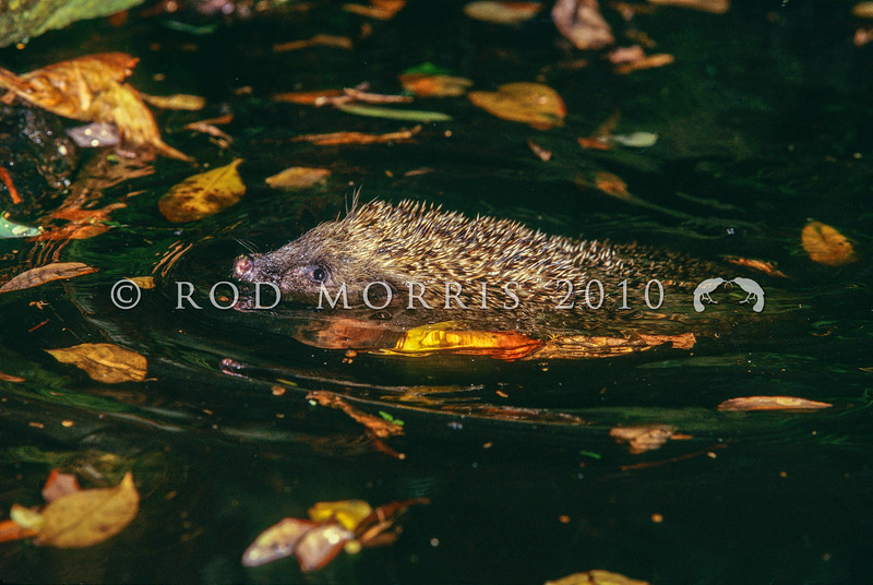 11002-13311  European hedgehog (Erinaceus europaeus) swimming across pond. Hedgehogs are also good climbers. Otago Peninsula *