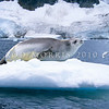 11002-42601  Crabeater seal (Lobodon carcinophagus) resting on ice *