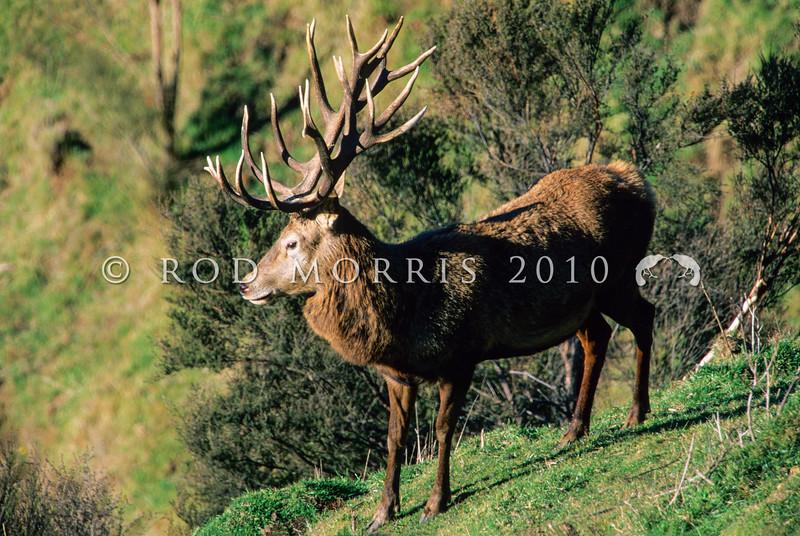 11002-26115 Red deer (Cervus elaphus) trophy stag with distinctive antler form from German and Danish bloodlines *