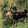 11002-26115 Red deer (Cervus elaphus) trophy stag with distinctive antler form from German and Danish bloodlines *