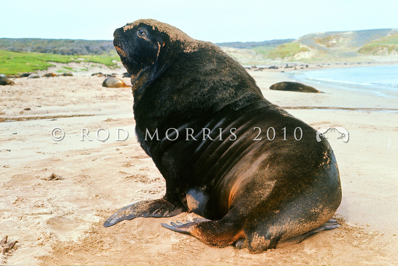 11002-39117 New Zealand sea lion (Phocarctos hookeri) territorial beachmaster with rookery on beach behind. Sandy Bay, Enderby Island *