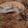 11002-26107 Red deer (Cervus elaphus scoticus) young fawn on forest floor *