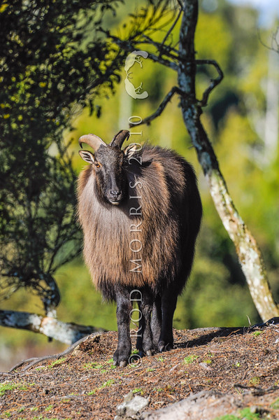 DSC_1740  Himalayan tahr (Hemitragus jemlahicus) mature bull in winter coat with thick mane or 'cape'