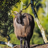 DSC_1740  Himalayan tahr (Hemitragus jemlahicus) mature bull in winter coat with thick mane or 'cape' *