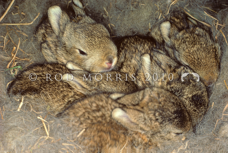 11002-14112 European rabbit (Oryctolagus cuniculus cuniculus) five young 'kittens' about 14 days old in fur-lined nest. Otago Peninsula *