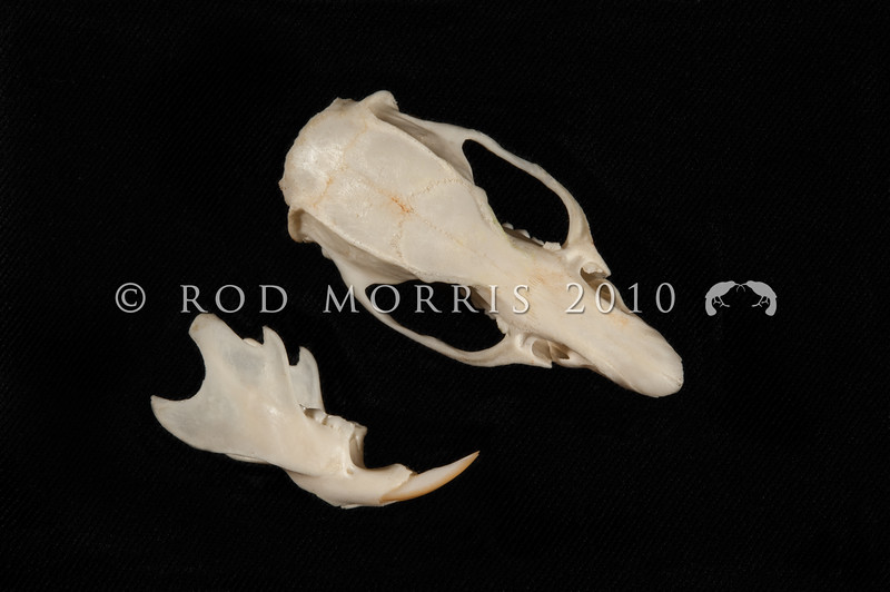 DSC_8429 Norway rat (Rattus norvegicus) skull and lateral view of lower jaw prepared by George Holley. Introduced rats are voracious predators of our native birds reptiles and insects *