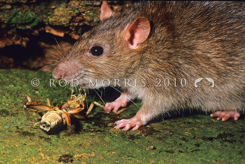 11002-19224  Norway or brown rat (Rattus norvegicus) attacking and eating a tree weta. This is the largest rat found in New Zealand, mainly around waterways (coastal and freshwater), in towns and around farms. Norway rats are omnivorous and have a very broad and varied diet. They have been recorded eating seeds, fruits, leaves, lizards, insects, molluscs, crustaceans, the eggs and young of burrowing seabirds, stored grain, animal carcasses, garbage, and even sewage. This was the first European rodent to become established in New Zealand arriving in the 1770's *
