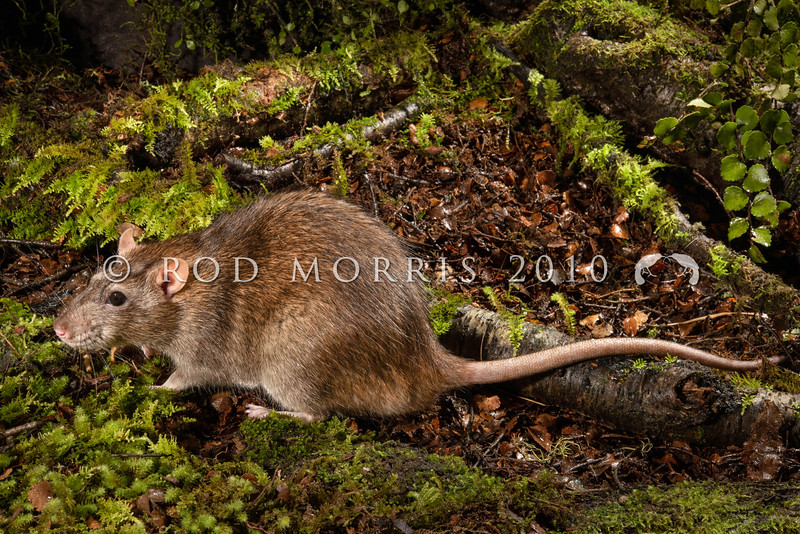 DSC_7550 Norway or brown rat (Rattus norvegicus) large male (380g). This is the largest rat found in New Zealand, mainly around waterways (coastal and freshwater), in towns and around farms. Norway rats are omnivorous and have a very broad and varied diet. They have been recorded eating seeds, fruits, leaves, lizards, insects, molluscs, crustaceans, the eggs and young of burrowing seabirds, stored grain, animal carcasses, garbage, and even sewage. This was the first European rodent to become established in New Zealand arriving in the 1770's *