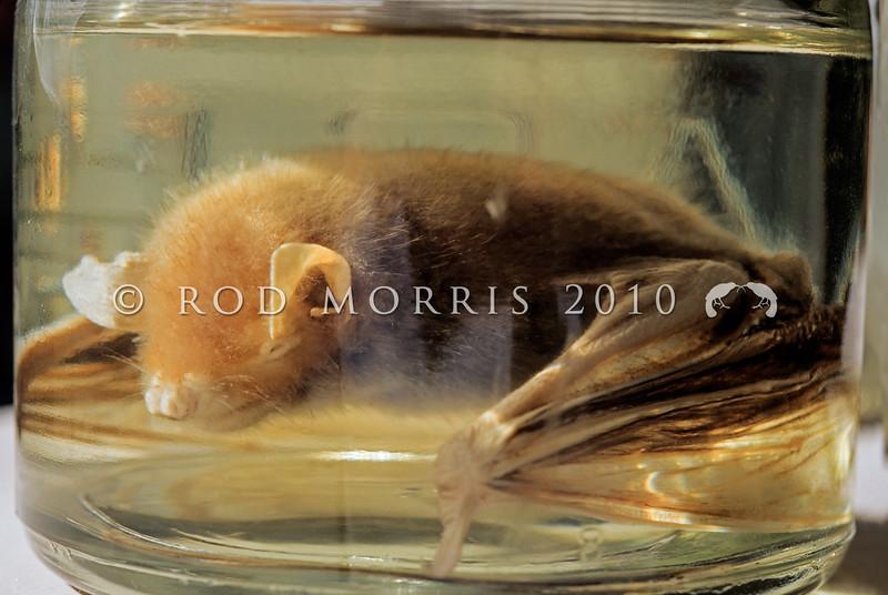 11002-02001 Greater short-tailed bat (Mystacina robusta) presumed extinct since 1968, when ship rats invaded Big South Cape Island. Rakiura Museum *
