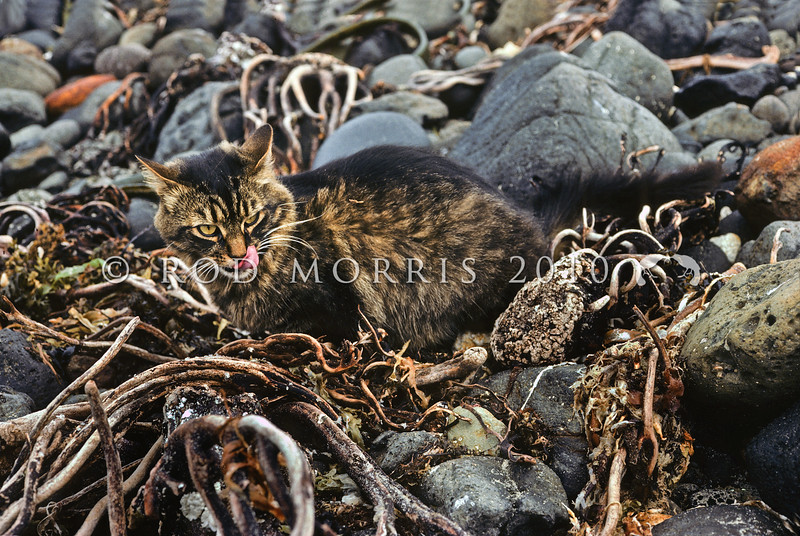 11002-23106  Feral cat (Felis catus) feeding in beach drift. South eastern coast of Pitt Island, Chathams Group