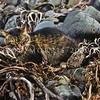 11002-23106  Feral cat (Felis catus) feeding in beach drift. South eastern coast of Pitt Island, Chathams Group