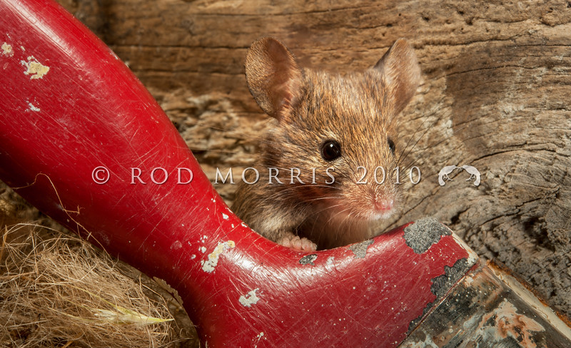 DSC_8404 House mouse (Mus musculus domesticus) young female emerging from nest in garden shed. At this young age it's difficult to think of mice as predators, but mouse numbers increase in many areas in summer when pasture grasses seed, providing an abundance of food. Mice are significant predators of insects, especially beetles and caterpillars, as well as small reptiles, and the eggs and young of small birds. Otago Peninsula *