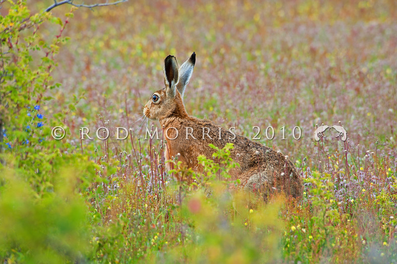 DSC_8603 Brown hare (Lepus europaeus occidentalis) males are sometimes called 'jacks' or 'bucks', females are 'jills'. This is a young 'jill' from Isolated Flat, Molesworth *