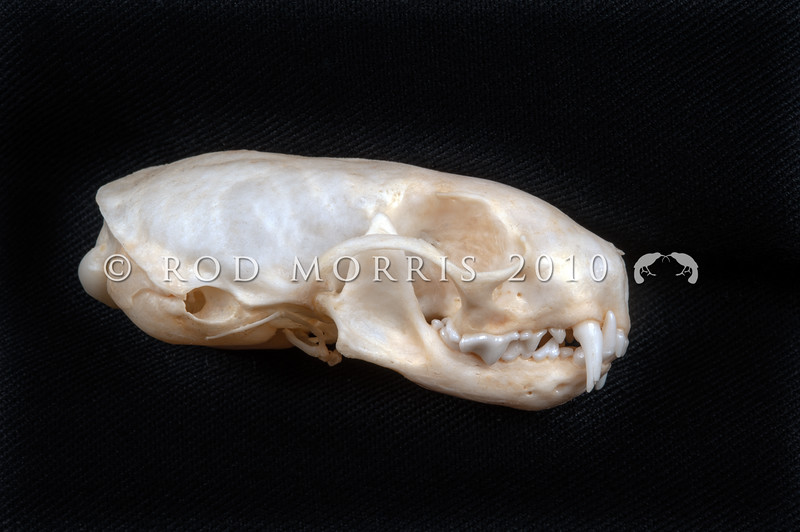 DSC_2681 Stoat (Mustela erminea) lateral view of skull prepared by George Holley. Stoats were Introduced into New Zealand in 1884 by run-holders whose economic self-interest outweighed a desire to protect our native birds. Otago Peninsula *
