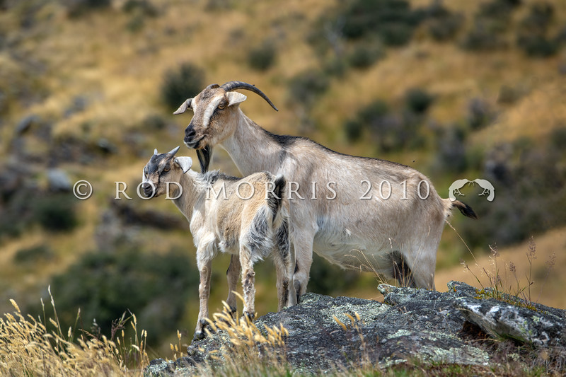 DSC_2016 Feral goat (Capra hircus) wild female with kid in foreground. Typical of the range of colour of feral goats in the Lake Wakatipu area. Arrowtown *