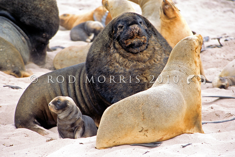 11002-39314 New Zealand sea lion (Phocarctos hookeri) territorial beachmaster guarding lactating cow and young pup in rookery *