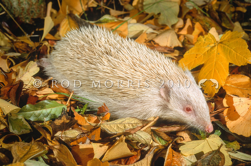 11002-13215 European hedgehog (Erinaceus europaeus) an albino male wandering through autumn leaves. Clyde *