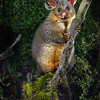 DSC_6717  Brushtail possum (Trichosurus vulpecula) eating native Powelliphanta land snail. It was not until the 1970s that scientists began to realise that possums rather than rats and pigs were responsible for  large numbers of dead snails found in the South Island's mountain forests and alpine grasslands. Possums bite through the shell near its opening and extract the snail within *