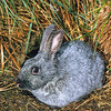 11002-14218 Rabbit (Oryctolagus cuniculus) a young doe of the French domestic breed 'Champagne d'Argent' introduced to Enderby Island in 1865 and eradicated from the island in 1991-92. This beautifully silver coloured breed provides the genetics for related breeds, such as Argente Bleu, Argente Brun, Argente Crème, and Argente St. Hubert. Champagne d'Argent is an anchient breed going back in history to at least 1631, and probably much earlier. *