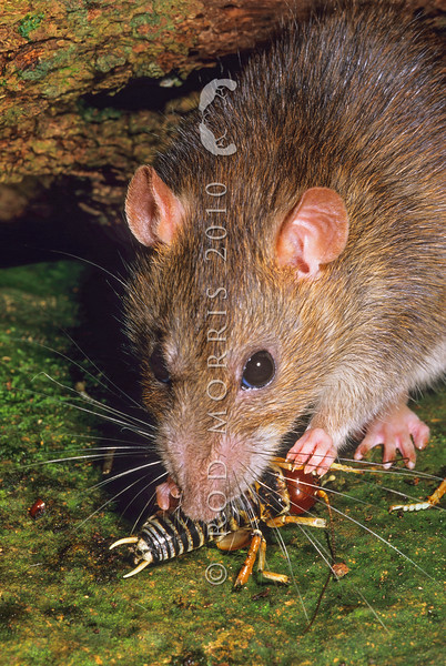 11002-19102  Norway rat (Rattus norvegicus) eating weta. This is the largest rat found in New Zealand, mainly around waterways (coastal and freshwater), in towns and around farms. Norway rats are omnivorous and have a very broad and varied diet. They have been recorded eating seeds, fruits, leaves, lizards, insects, molluscs, crustaceans, the eggs and young of burrowing seabirds, stored grain, animal carcasses, garbage, and even sewage. This was the first European rodent to become established in New Zealand arriving in the 1770's *6/18