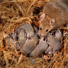 DSC_2975 House mouse (Mus musculus domesticus) female with a  litter of week old young in nest. This mother has ten young, however in a 'masting' year her litter size may be as high as twenty young. In major masting years mouse populations may experience a ten-fold increase in density in beech forests. An increased abundance of rodents at such times also drives up numbers of other introduced predators such as stoats and weasels. Otago Peninsula *