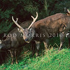 11002-28102  Sambar (Cervus unicolor unicolor) stag and hind during the rut. New Zealand sambar are the Sri Lankan sub-species