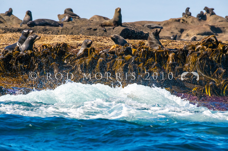 DSC_4066 New Zealand fur seal (Arctocephalus forsteri) a large seal breeding colony on a reef in The Sisters Group, Chatham Islands *