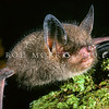 11002-02116 South Island lesser short-tailed bat, or pekapeka tou poto  (Mystacina tuberculata tuberculata) on the forest floor.This curiously semiterrestrial, omnivorous bat is the only surviving species in the bat family Mystacinidae, which is the only mammalian family endemic to New Zealand. Codfish Island *