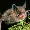11002-02116 South Island lesser short-tailed bat (Mystacina tuberculata tuberculata) on the forest floor on Codfish Island *