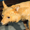 11002-19816  Kuri (Canis lupus familiaris) smallish dogs that reached New Zealand from East Polynesia around 1300 AD in the colonising canoes of Polynesian settlers. After interbreeding with European dogs, they eventually become extinct around the early 1860's. They had been important to the economy of early Maori, being valued as a food item for important guests, while kuri skins were used in cloaks. Today a few last remains of kuri are held at Te Papa and at Otago Museum *