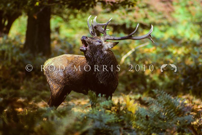 11002-26101  Red deer (Cervus elaphus scoticus) stag roaring in forest clearing *