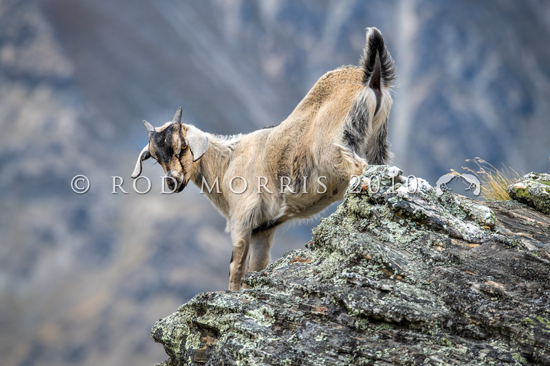 DSC_2022 Feral goat (Capra hircus) wild kid. Typical of the range of colour of feral goats in the Lake Wakatipu area. Arrowtown *