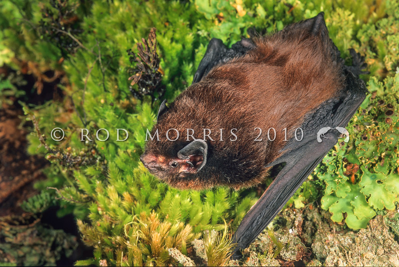 11002-01104  New Zealand long-tailed bat, or pekapeka tou roa, (Chalinolobus tuberculatus) young male from Knobs Flat, Fiordland *