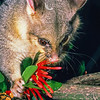 11002-06115  Brushtail possum (Trichosurus vulpecula) are selective feeders and are a significant threat to our native mistletoe