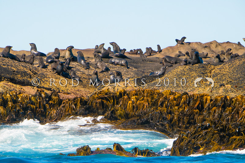 DSC_4036 New Zealand fur seal (Arctocephalus forsteri) a large seal breeding colony on a reef in The Sisters Group, Chatham Islands *