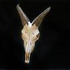 DSC_8101497 Himalayan tahr (Hemitragus jemlahicus) skull of mature bull *
