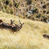 DSC_4215 Red deer (Cervus elaphus scoticus) stag roaring, with hinds and fawns in tussock high country. Kakanui Range *