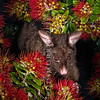 DSC_6856 Brushtail possum (Trichosurus vulpecula) eating pohutukawa, this introduced pest species is a selective feeder and a significant threat to our native Metrosideros species *6/18