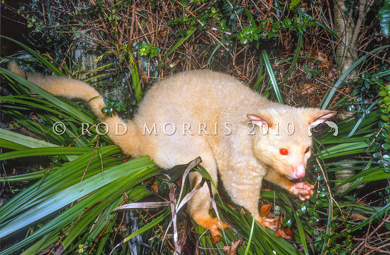 11002-06201  Brushtail possum (Trichosurus vulpecula) an albino male in native Astelia, Rotorua *
