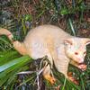 11002-06201  Brushtail possum (Trichosurus vulpecula) an albino male in native Astelia, Rotorua *