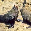 11002-40313  New Zealand fur seal (Arctocephalus forsteri) territorial bulls fighting *