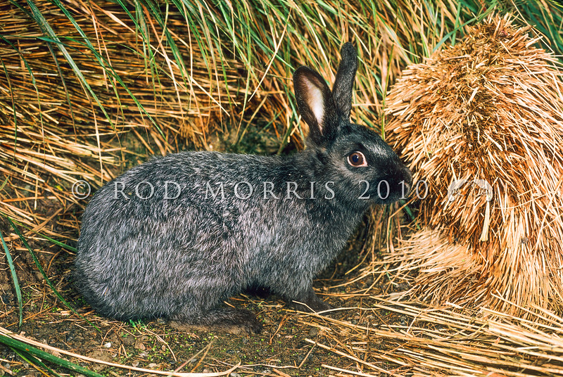 11002-14223 Rabbit (Oryctolagus cuniculus) a young buck of the French domestic breed 'Argente de Champagne' introduced to Enderby Island in 1865 and eradicated in 1991-92