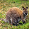 11002-57522  Bennett's wallaby (Macropus rufogriseus) confined to the South Island and the largest wallaby in New Zealand. Widespread in the Hunter Hills inland from Waimate *