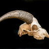 DSC_8101515  Feral goat (Capra hircus) skull *